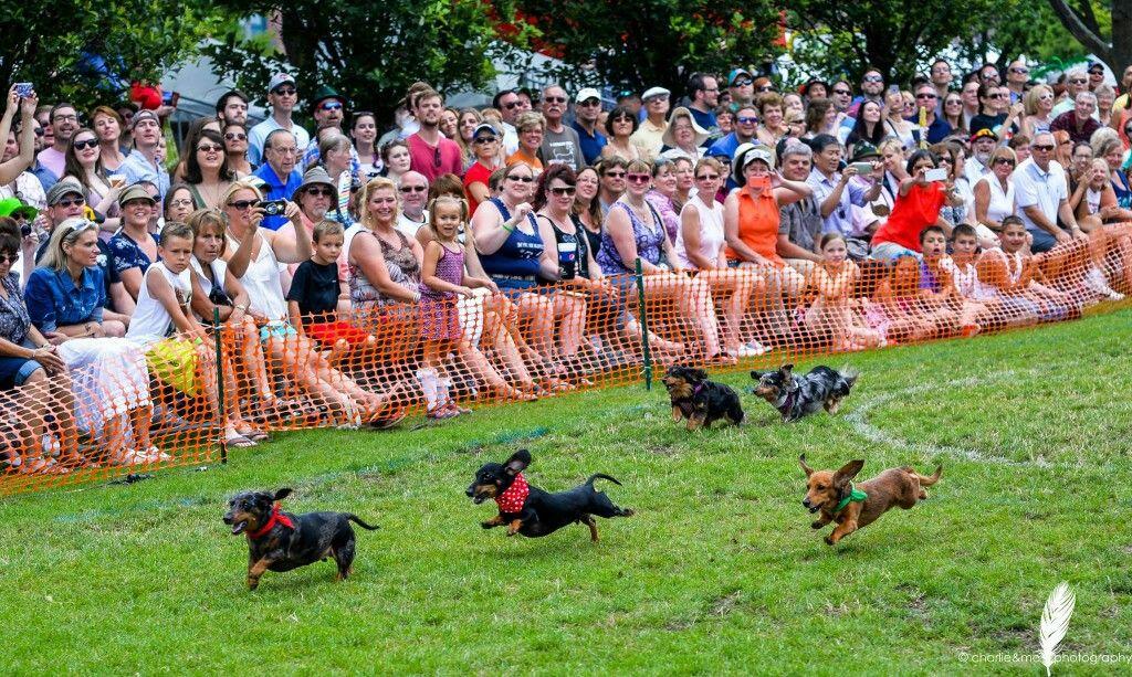 Pin By Dachshund Inmyheart On Dachshund Races Dachshund Dog