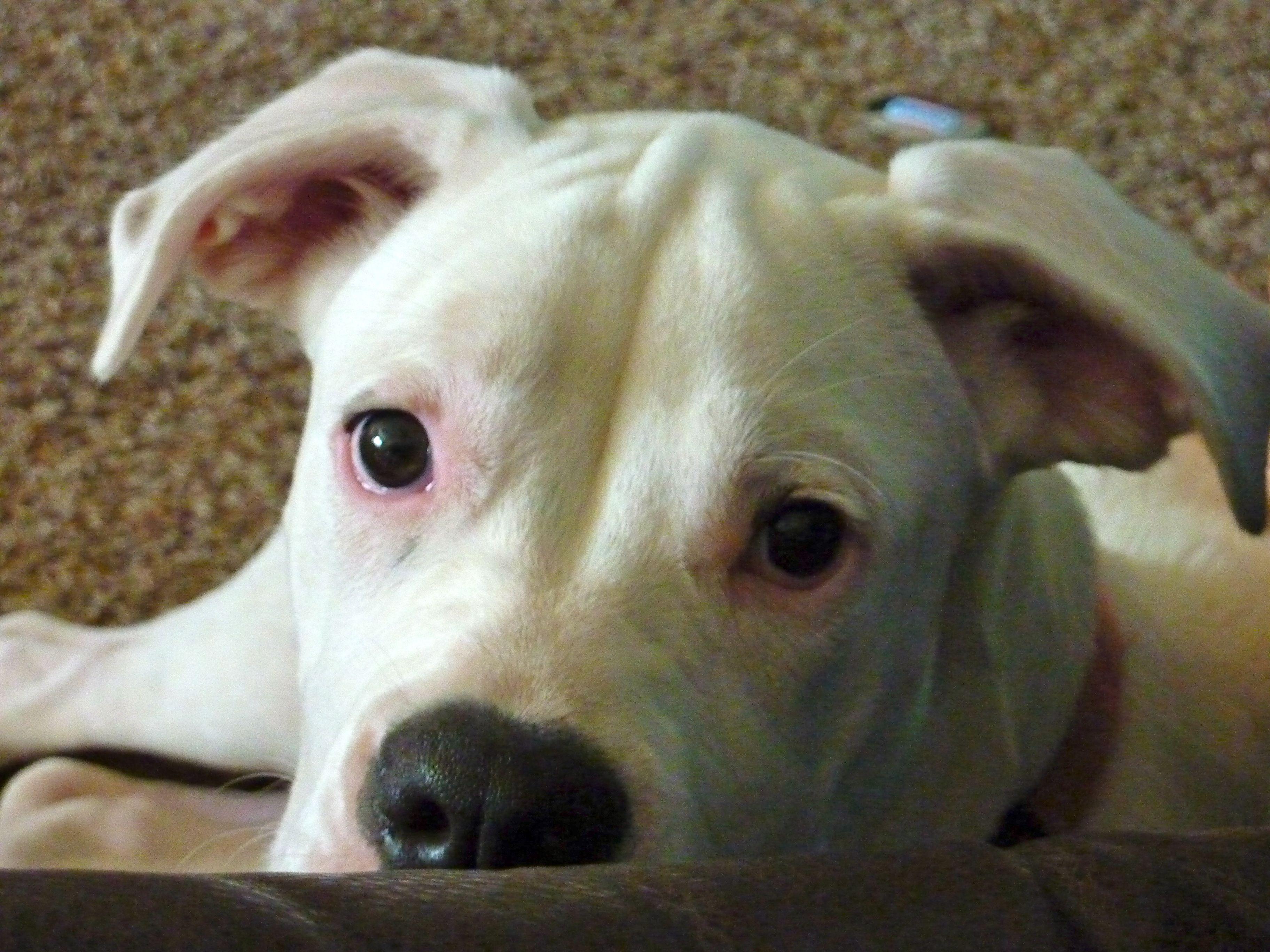 White American Bulldog / Boxer Pets Pinterest White