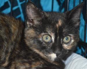 Adopt Sprinkles On Petfinder Cat Adoption Tiny Kitten Adoption