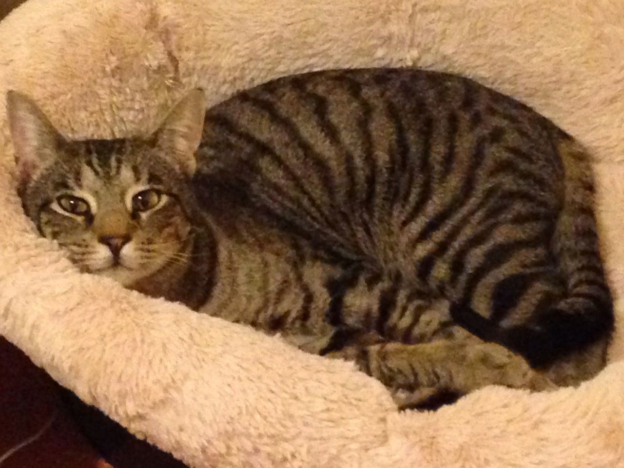 Bengal Tabby Cat Mix Stunning Silver Tabby Male 2 Years Old Cats