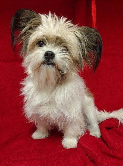 Papastzu Dog For Adoption In Redding Ca Adn 681688 On