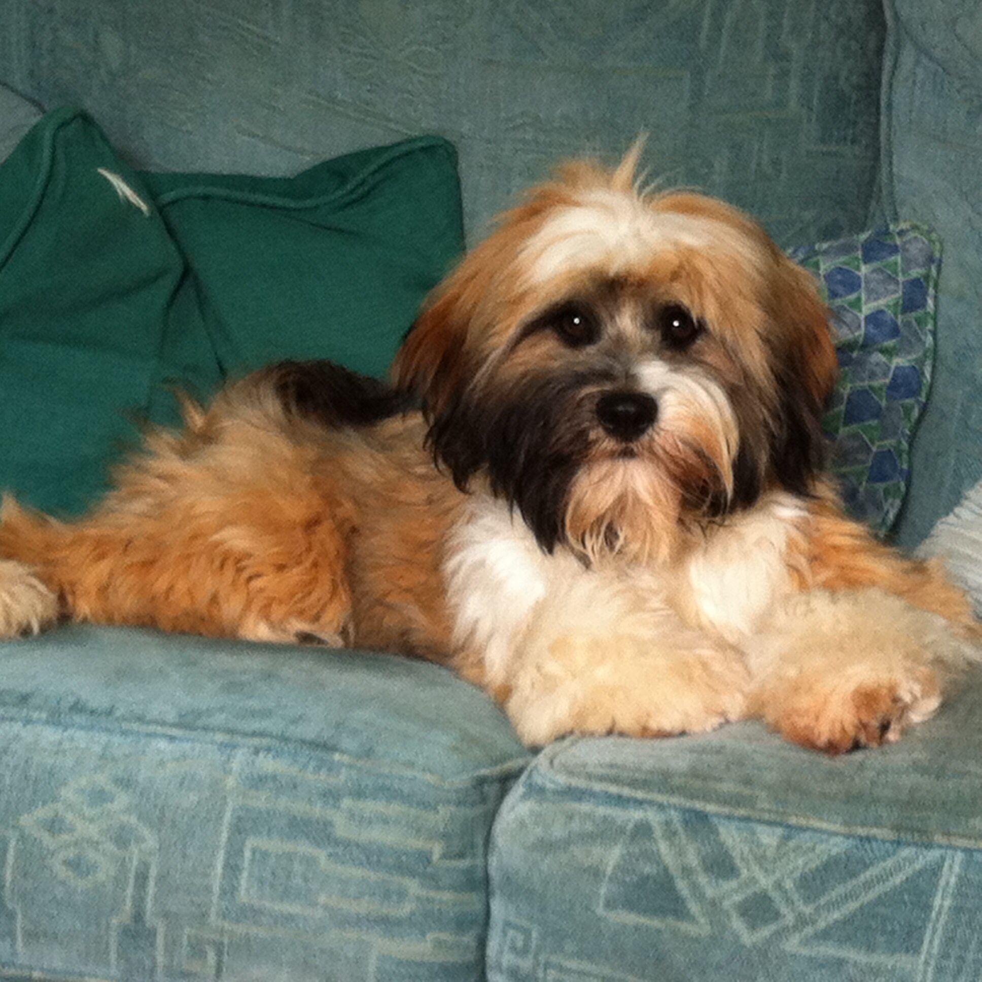 Matty Tibetan Terrier Tibetan Terrier Terrier Teddy Bear Dog