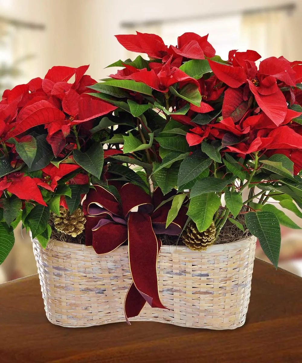 Merry Poinsettia Double Basket Poinsettia Plant Christmas Plants Poinsettia