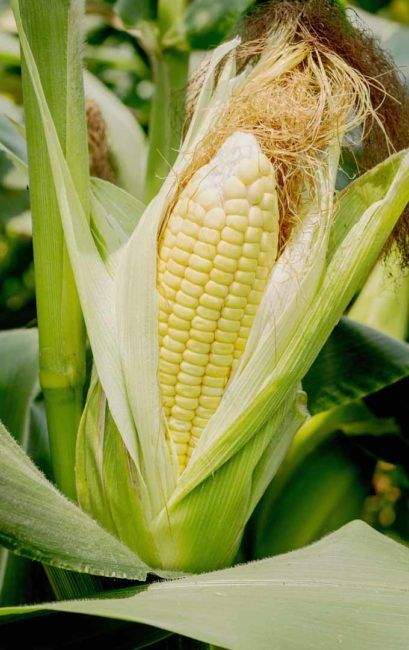 How to Grow Sweet Corn in your Backyard, an A to Z Guide ...