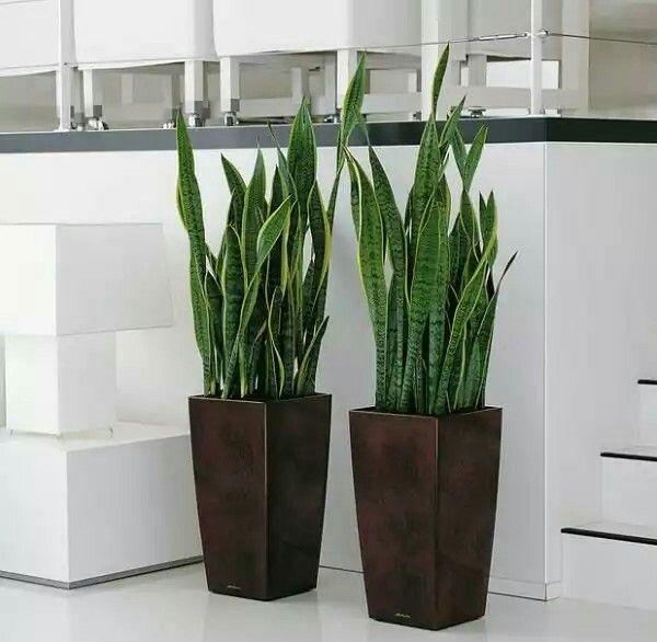 La sanseviera o lengua de suegra es una planta f cil de - Plantas muy resistentes ...