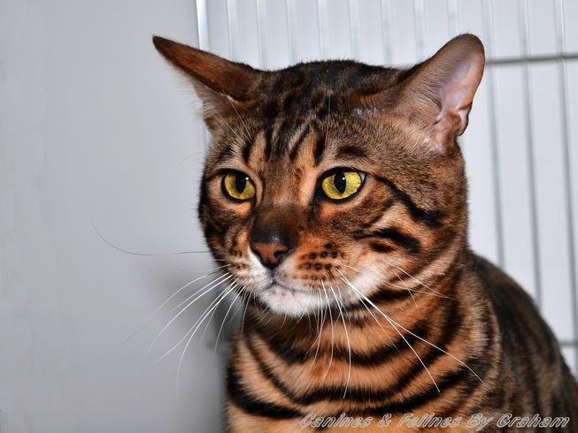Notts Derby Cat Show Pictures 2014 Uk Cat Breeders Bengal