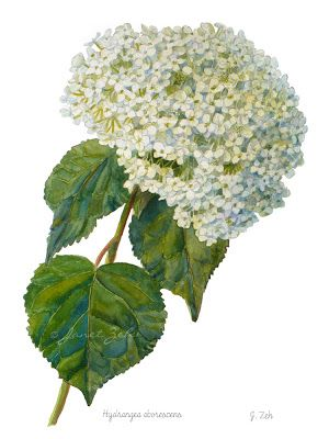 Hydrangea Botanical Watercolor Painting | Botanical watercolor ...