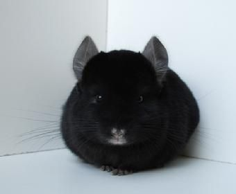 extra dark ebony chinchilla