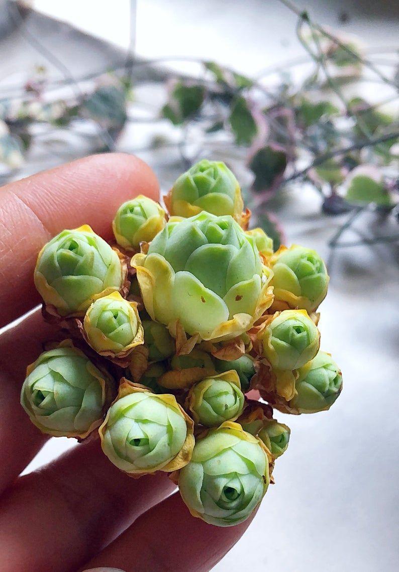 Greenovia cluster/mountain roses/live succulent/succulent