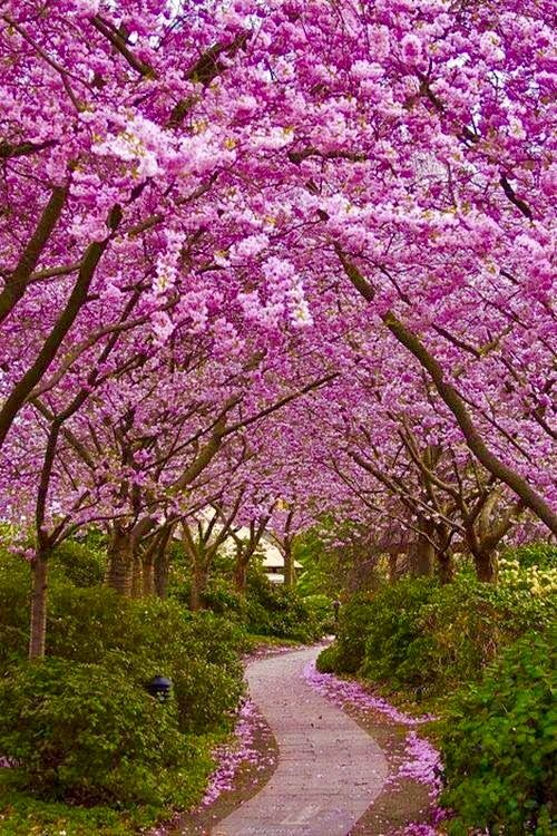 Pin By Jane Ware On Cherry Blossom Time Pinterest Pink Purple