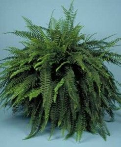 What To Do With Boston Ferns In Winter Boston ferns Fern and