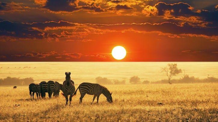 Cebras en el África.