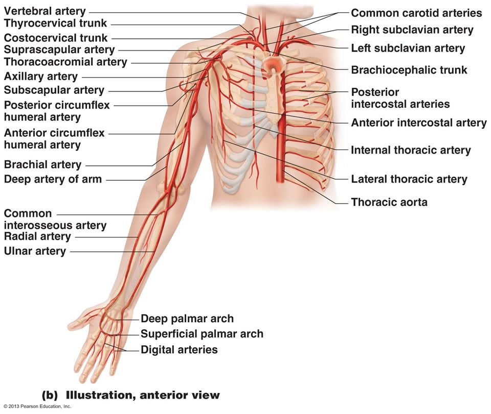 The Cardiovascular System Blood Vessels Medical Related Stuff