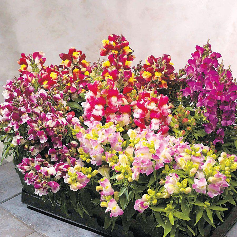 Floral Showers Bicolor Mix Snapdragon Seeds Snapdragons