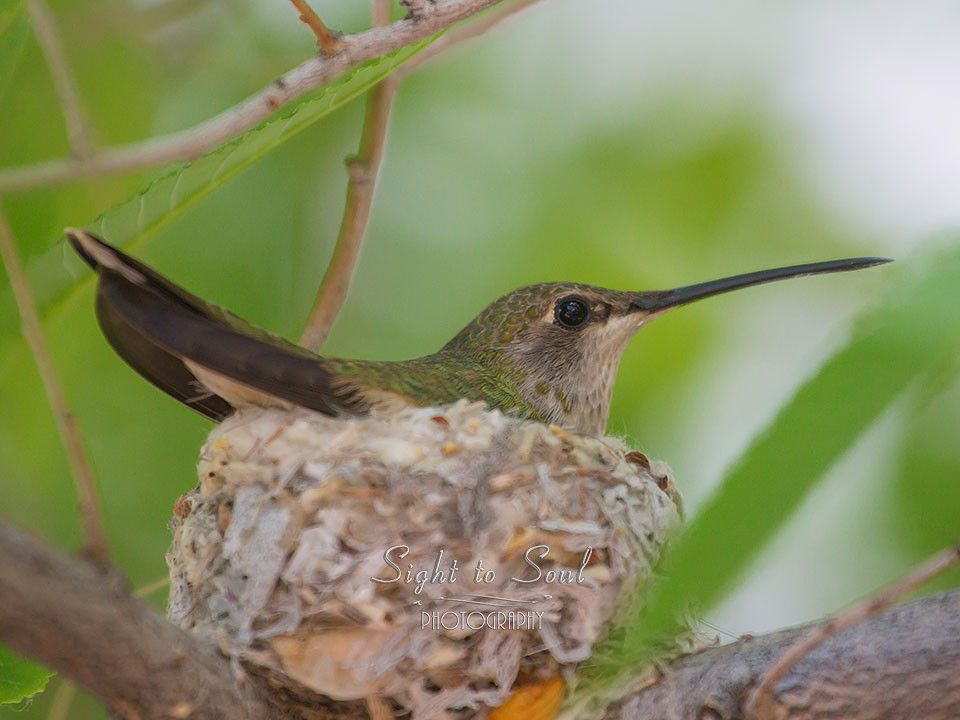 Series of Blackchinned hummingbird prints featuring a