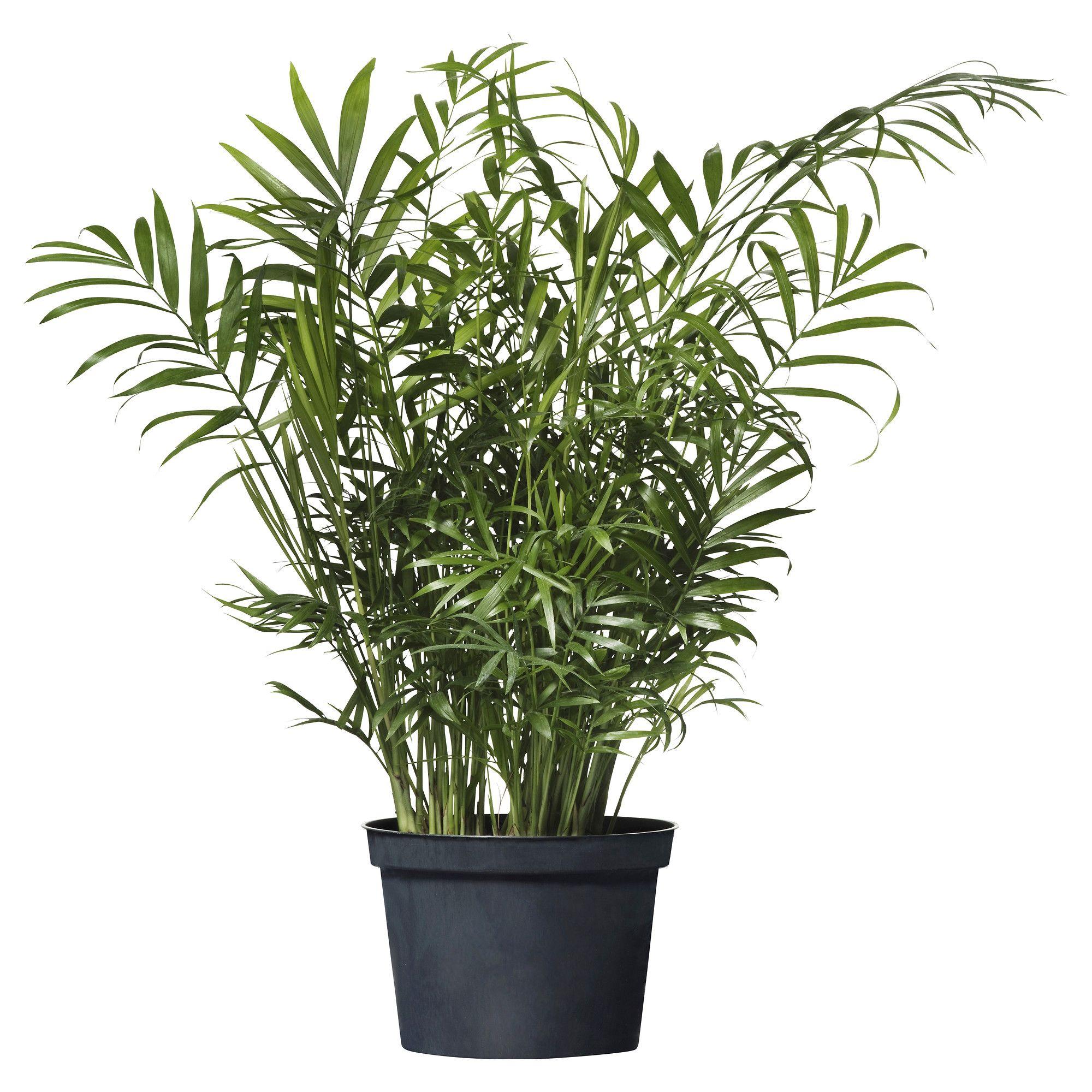 Chamaedorea Elegans Potted Plant Parlor Palm Patio
