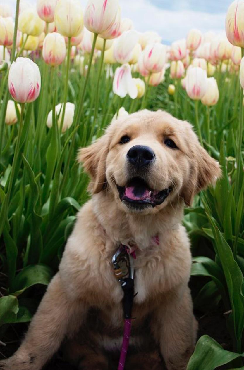 Puppies Retriever Puppy Puppies Dogs Golden Retriever