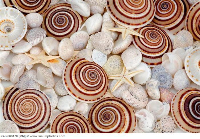 Haitian Tree Snails with mixed sea shells