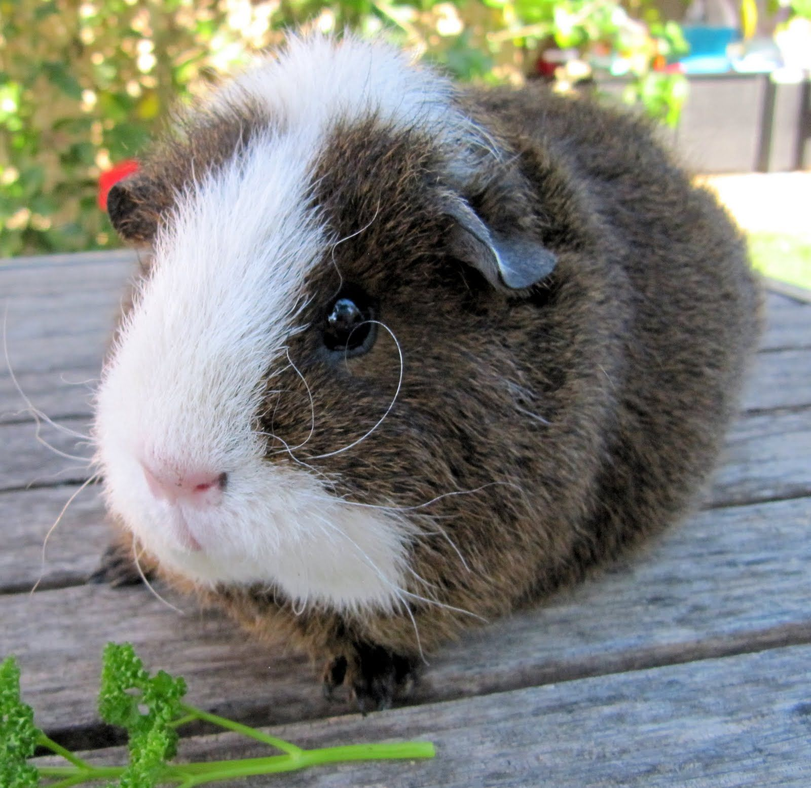 I have two favourite guinea pig breeds: Texels (Curlies) and Sheba ...