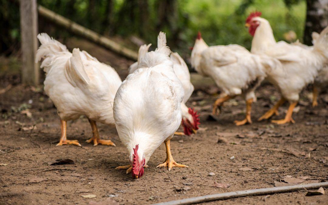 McMurray Hatchery Blog: CDC Salmonella Alert — #chickens # ...