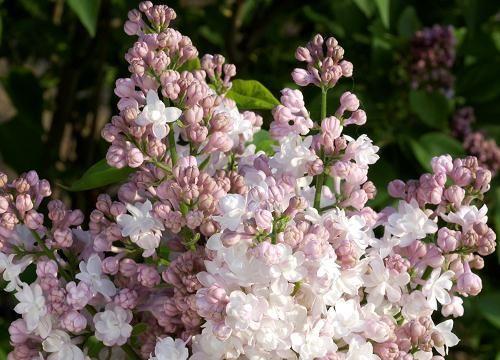 lilas - syringa vulgaris dentelle d'anjou   d and syringa vulgaris