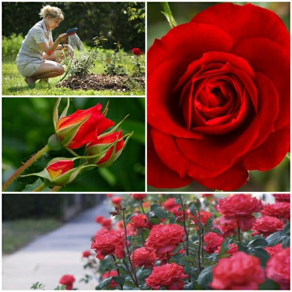 rote rosen als aromatische und bezaubernde gartenpflanzen pflegen garten pinterest garten. Black Bedroom Furniture Sets. Home Design Ideas