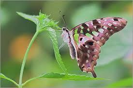 Bildergebnis für papillon