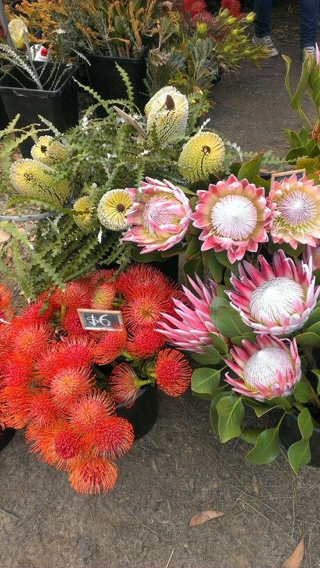 Native Australian Flowersthe King Protea The Big One Is Only Related To Australian Proteas They Co Australian Flowers Unusual Flowers Australian Native Flowers