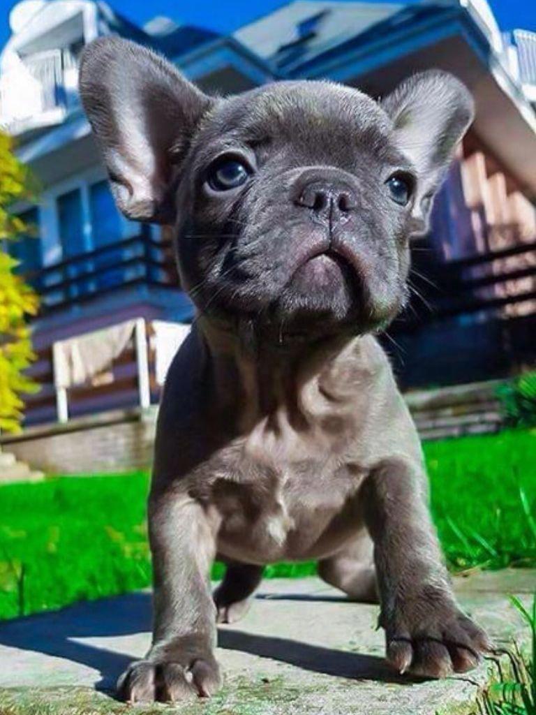 Yugen The Blue Smoke French Bulldog Puppy Bulldogpuppies