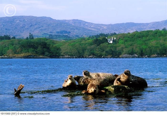 Seals in Glengarriff, Co Cork, Ireland