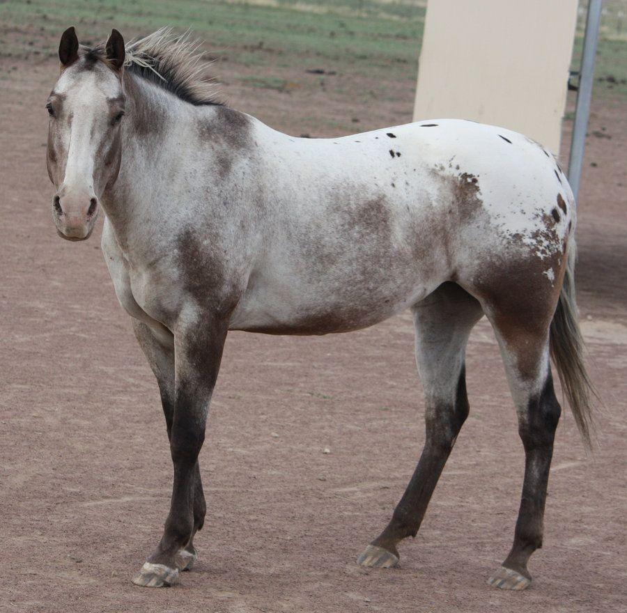 Bay fewspot blanket Varnish Roan. Notice how the horse ... | 900 x 880 jpeg 121kB