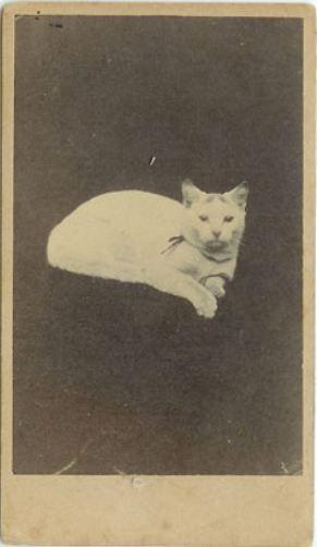 1885 Cartes De Visite Portrait Of A Cat Via Remains To Be Seen
