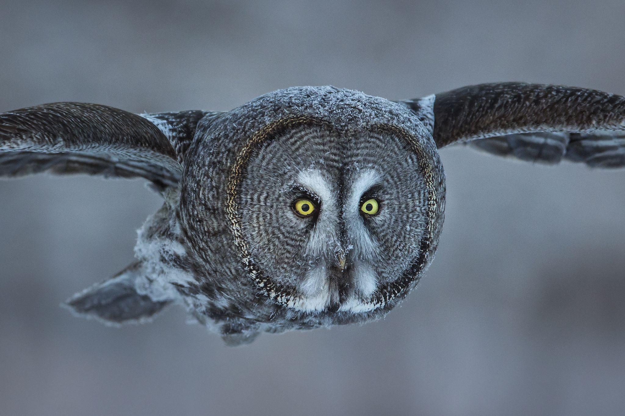 The Great Grey , I C U | Owl, Owl photos, Photo to art
