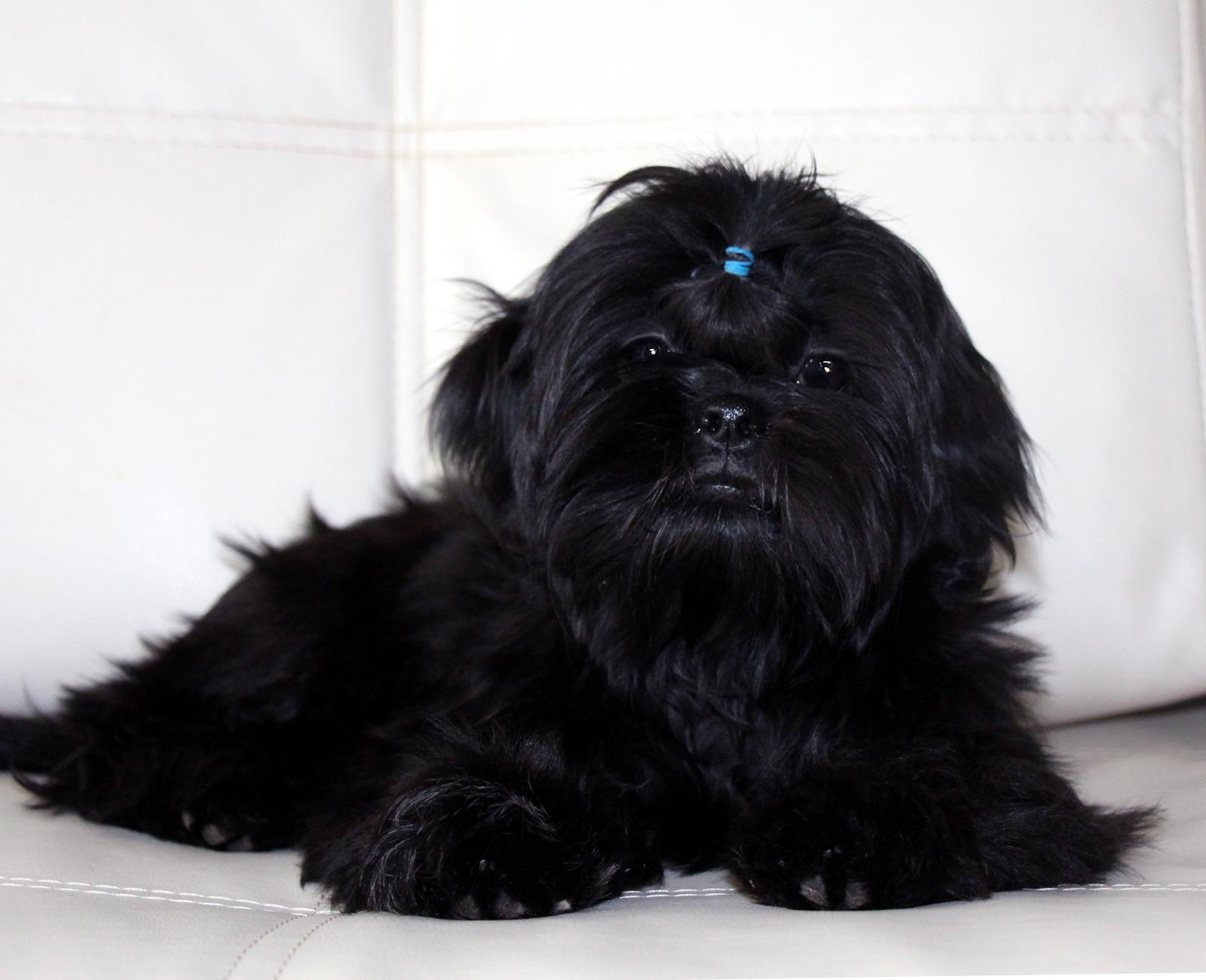 Shih Tzu Pup Shih Tzu Puppy Black Shih Tzu Shih Tzu