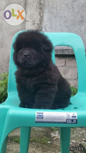 Chow Chow Stud Producer Of Blue Color Puppies Philippines 71772354 Puppies Blue Color Cute Animals