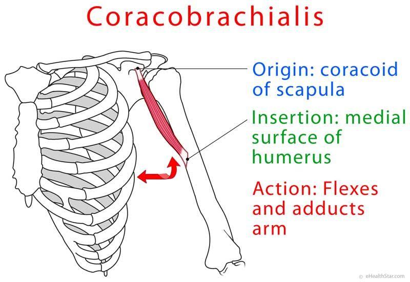 Coracobrachialis anatomy and test (video)   Anatomy   Pinterest ...