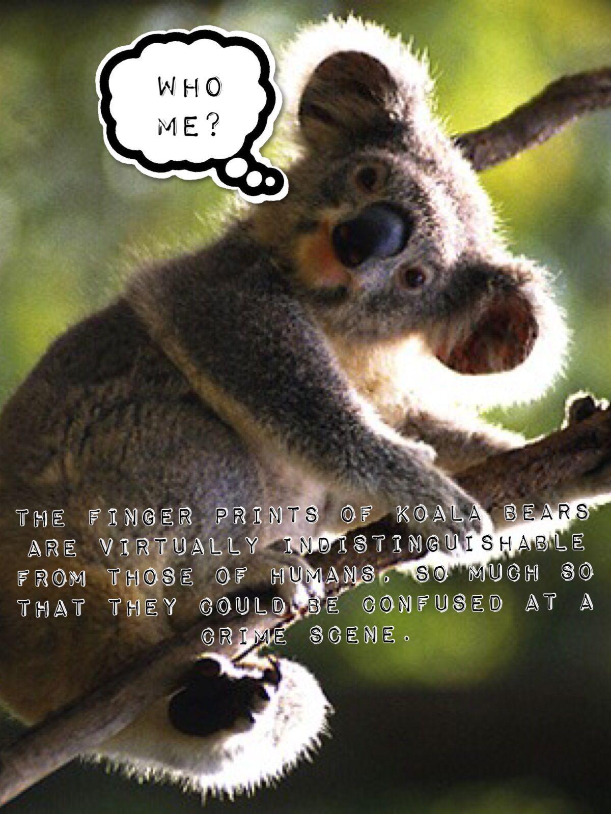 CollegeBound's Fun Fact of the Day. The fingerprints of koala ...