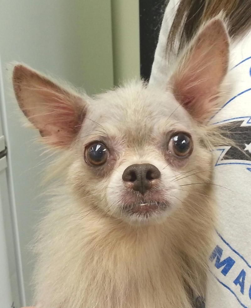 Adopt Stevie On Chihuahua Love Animals New Puppy