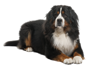 Bernese Mountain Dog Pet Insurance Alternative By Pet Assure Bernese Mountain Dog Pet Dogs Dogs