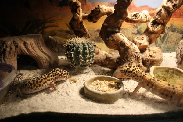 Leopard gecko substrate?