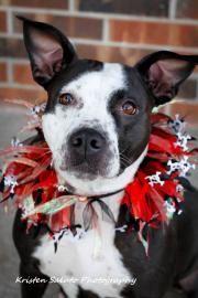 ★11/18/15 SL★ ~Petango.com – Meet Ingrid, a 2 years 10 months Bulldog, American / Retriever, Labrador available for adoption in MISSION, KS