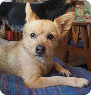 Corona, CA - Yorkie, Yorkshire Terrier/Pomeranian Mix. Meet Leia, a dog for adoption. http://www.adoptapet.com/pet/13261880-corona-california-yorkie-yorkshire-terrier-mix