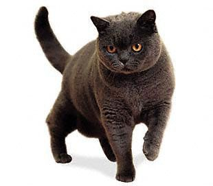 British Shorthair Cat looks a lot like a Sable Burmese