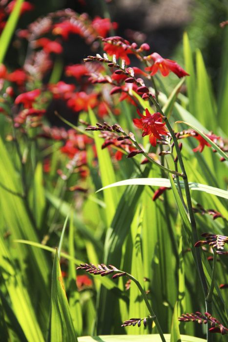 Crocosmia 'Emberglow' is a clump-forming perennial that attracts butterflies, hummingbirds, and bees.