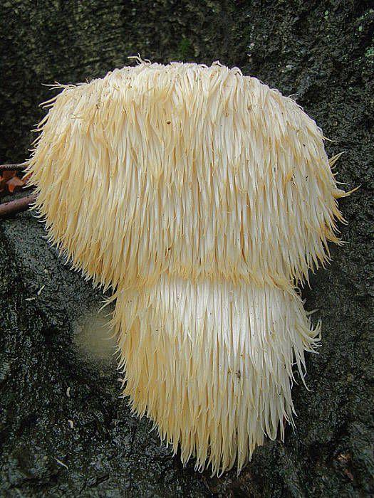 koralovec ježovitý  Hericium erinaceus
