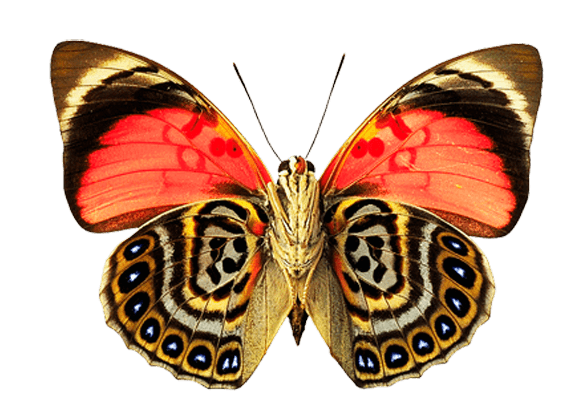 Image result for gulf fritillary butterflies transparent