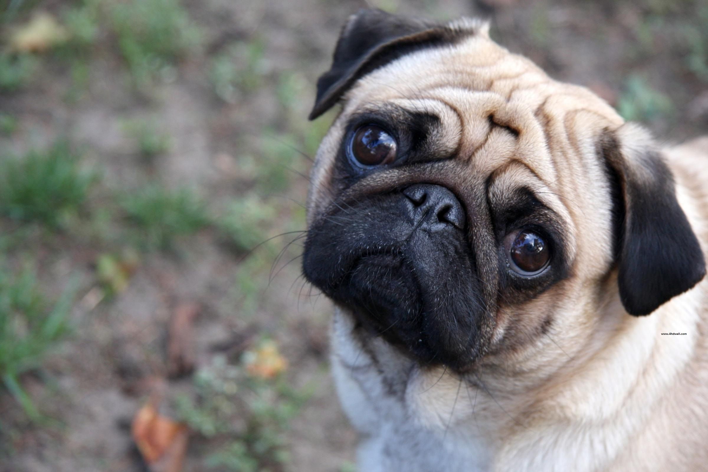 Can I Pet Your Dog Dog Wallpaper Dogs Puppies Pugs