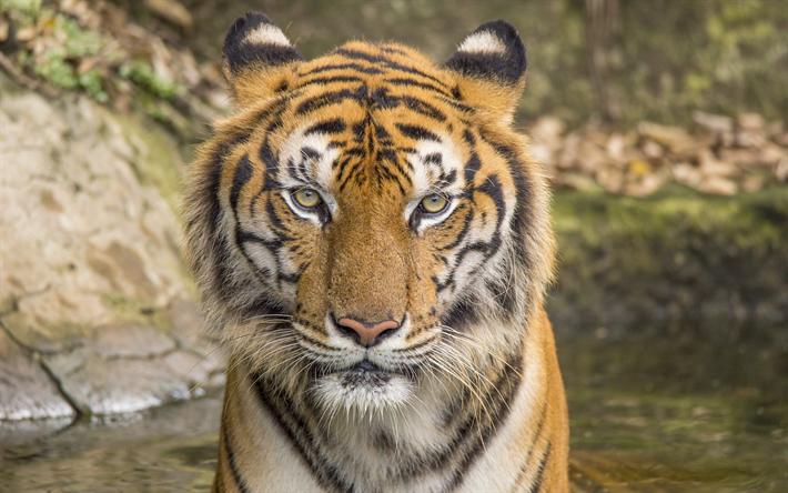 Download Wallpapers Tiger Wildlife Portrait Dangerous Animals Tigers Predators Besthqwallpapers Com Animals Dangerous Animals Pet Tiger