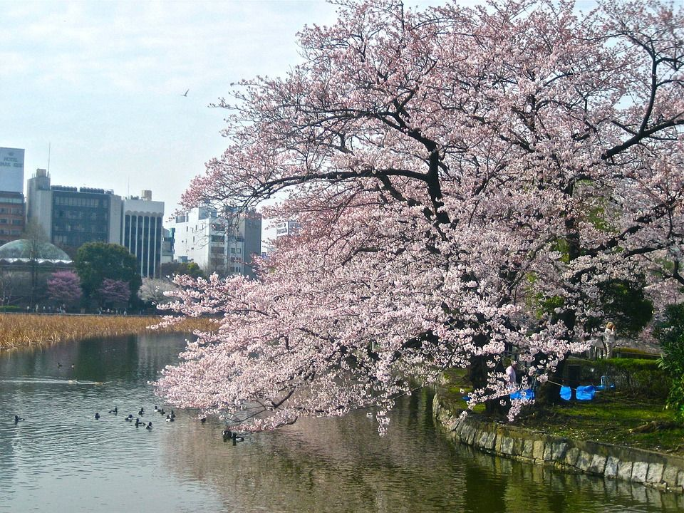 When And Where Are The Best Places To See The Cherry Blossoms In Japan Buckitdream Blog Cherry Blossom Japan Japan Cherry Blossom