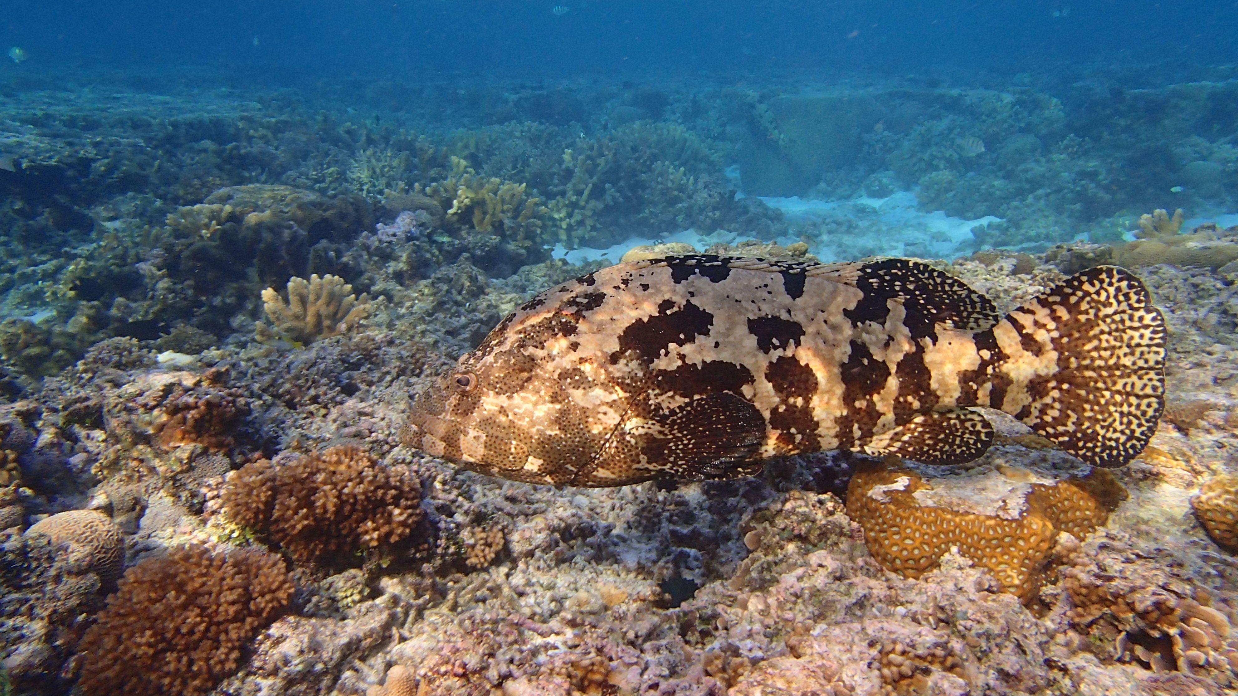 Brown Marbled Grouper On Ladyelliotisland Thisisqueensland Seeaustralia Www Ladyelliot Com Au Big Aquarium Types Of Fish Loggerhead Turtle